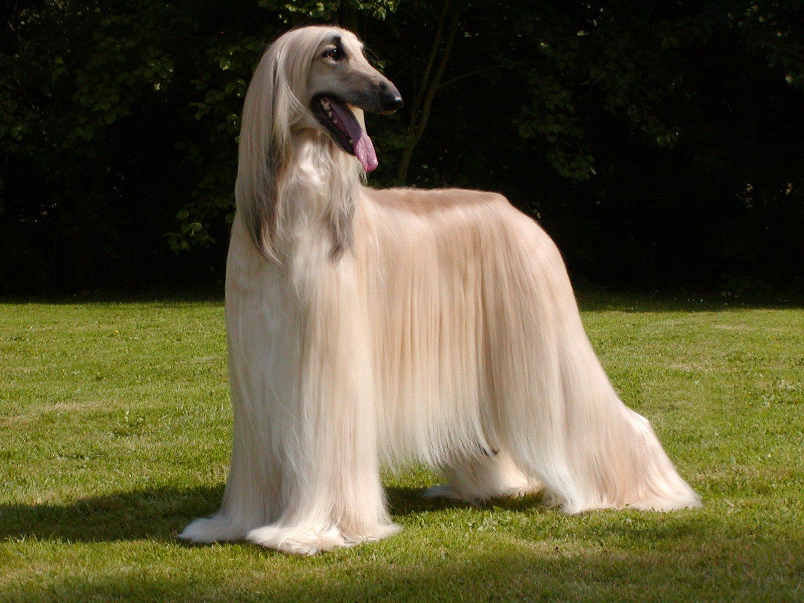 afghan hound 04