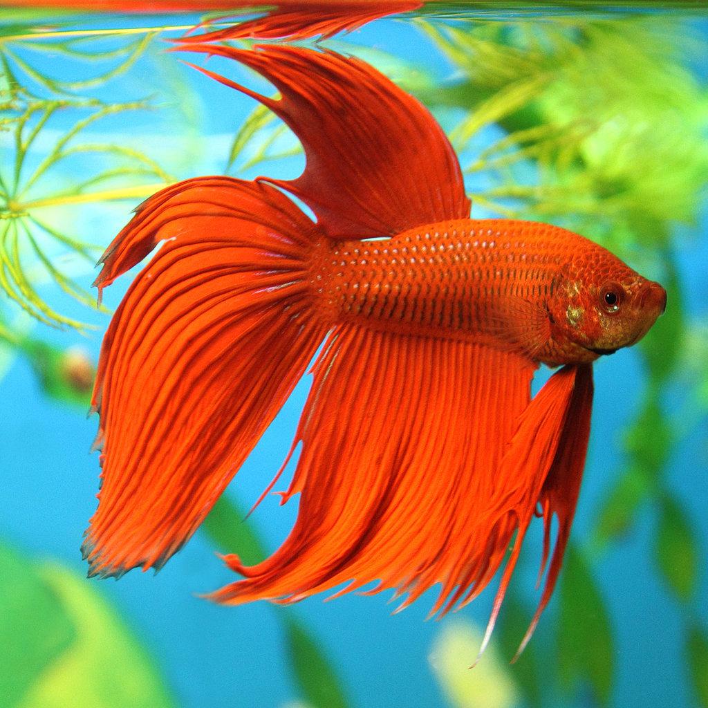 peixe-betta-cuidados-especiais-como-cuidar