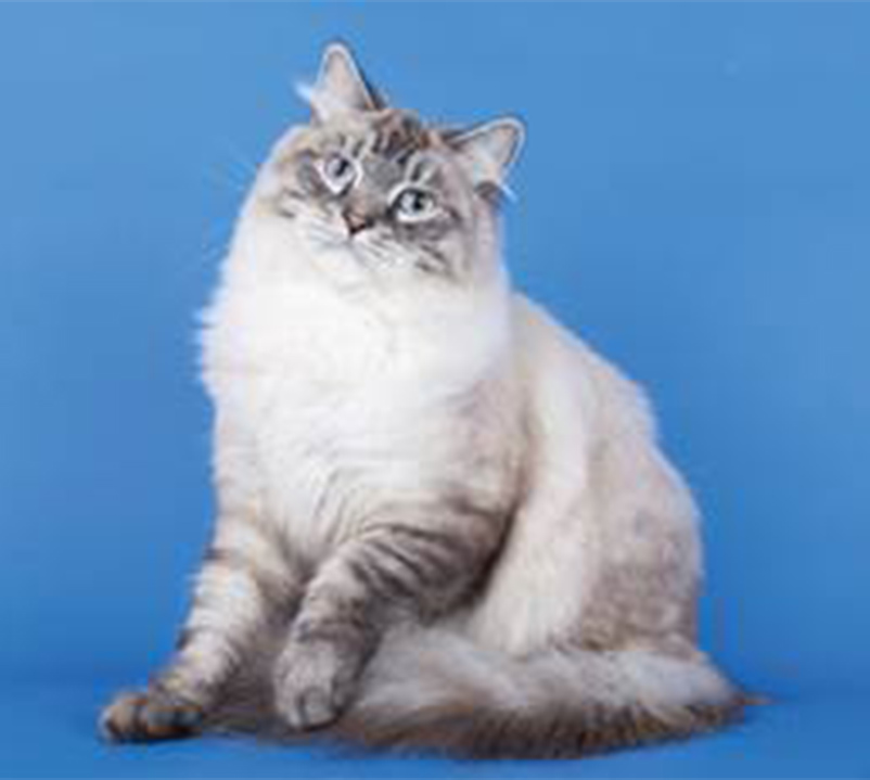 gato siberiano capa