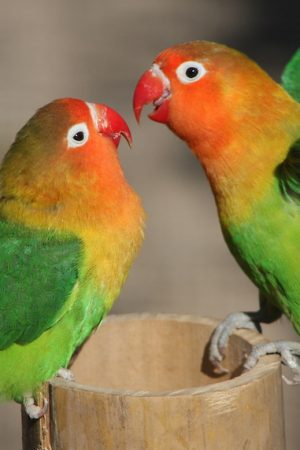 love_birds_couple_birds