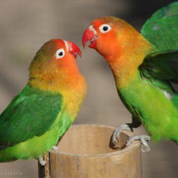 love_birds_couple_birds