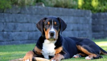 reni-hahn_grosser-schweizer-sennenhund