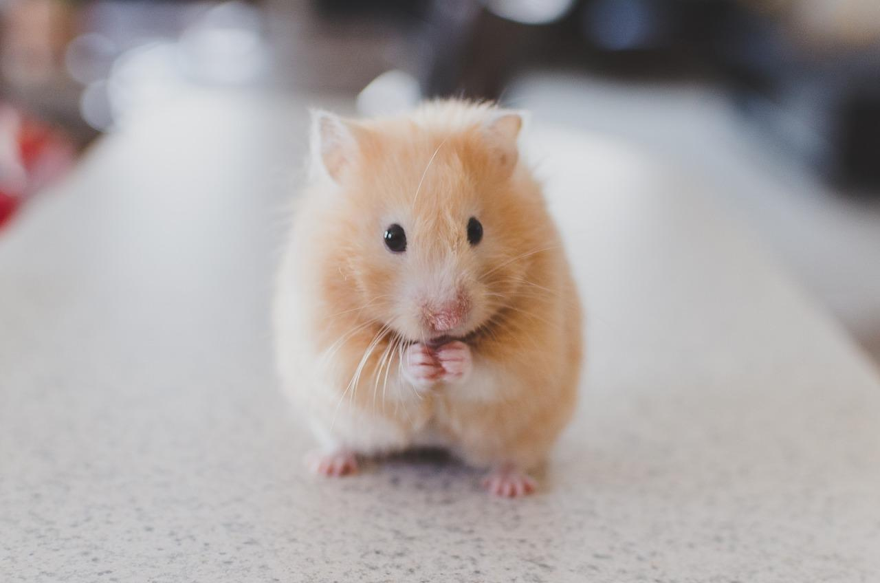 img_doencas_mais_comuns_nos_hamsters_21586_orig