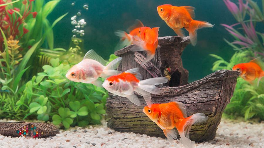 peixe_aquario_laranja