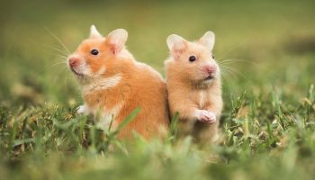 hamsters-two.ngsversion.1416350481021.adapt.1900.1
