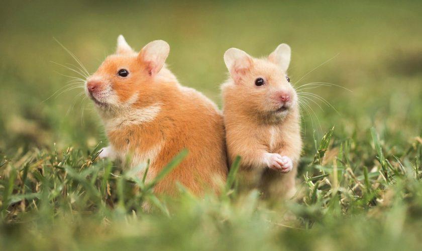 hamsters-two.ngsversion.1416350481021.adapt.1900.1