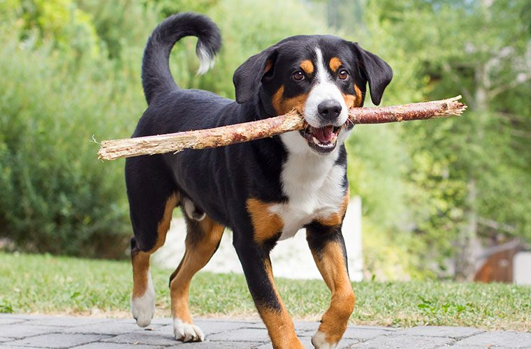 entlebucher-sennenhund-hunderassen-760×560