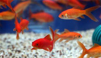 peixes-alimentando
