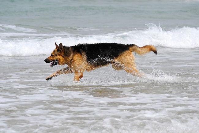 a- 1- 1- pastor alemão correndo na praia