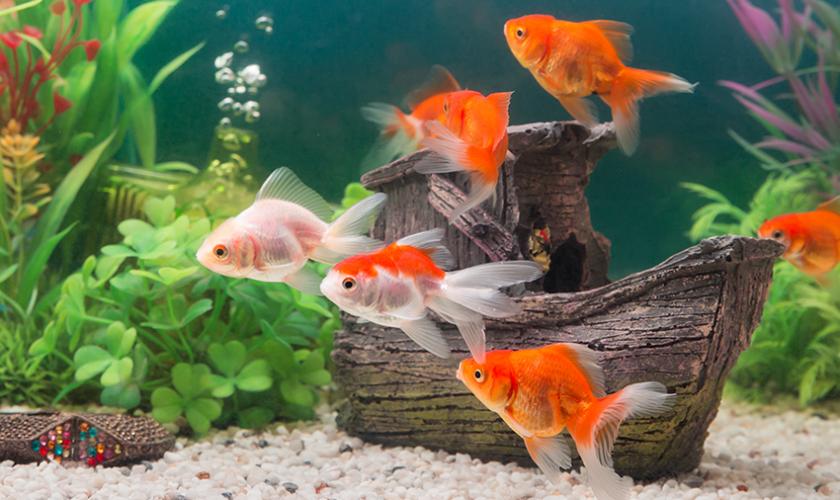 aquarismo peixe
