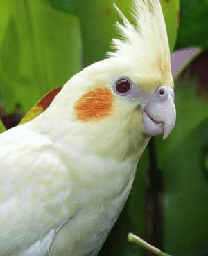 ave calopsita