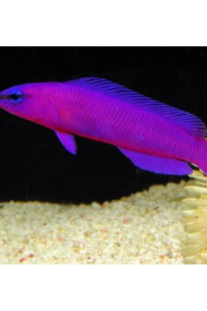 peixes-pseudochromis-fridmani-m-900×900