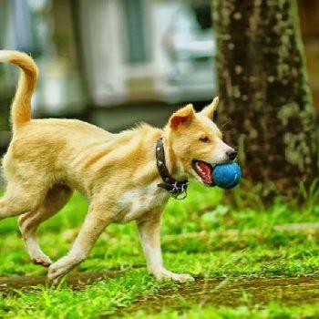 a – 1- 1- cão soltando a bolinha