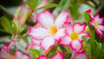 rosadodeserto1